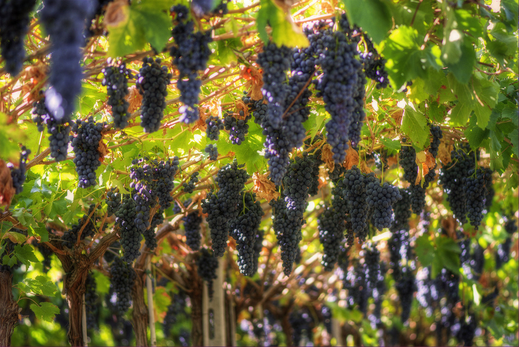 Ilares Riolfi's photo of Valpolicella grapes, from Wikipedia.