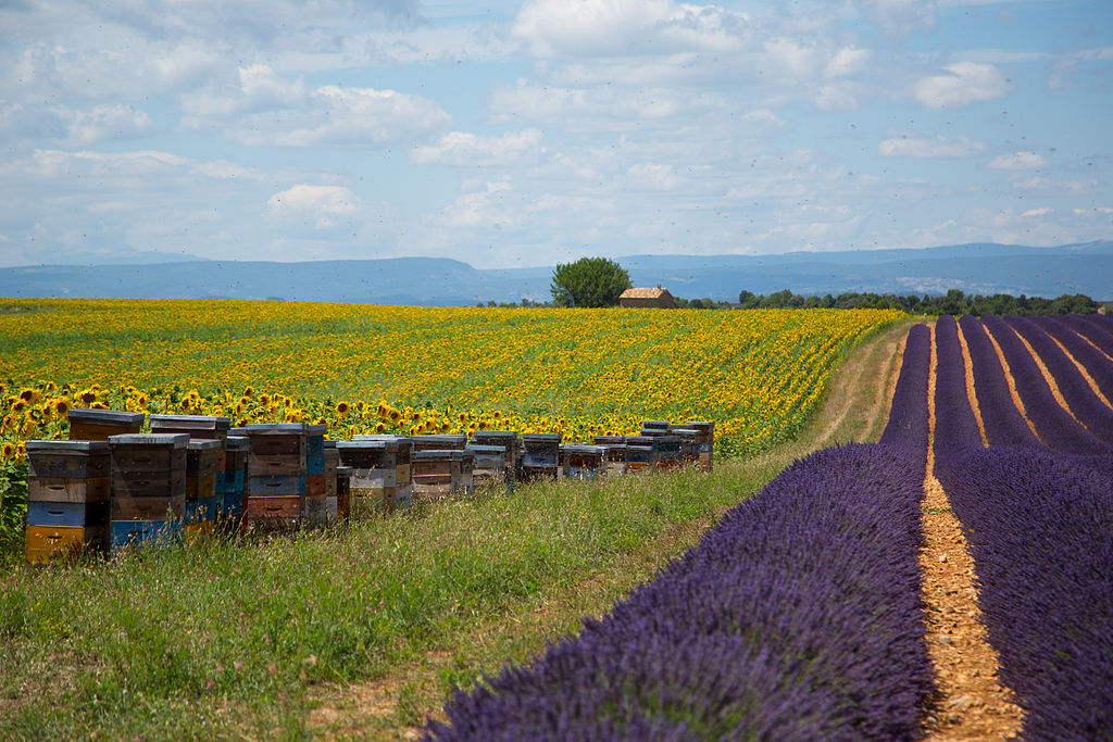 Apiary & lavender fields in Aix-en-Provence, France, by Victor Grigas